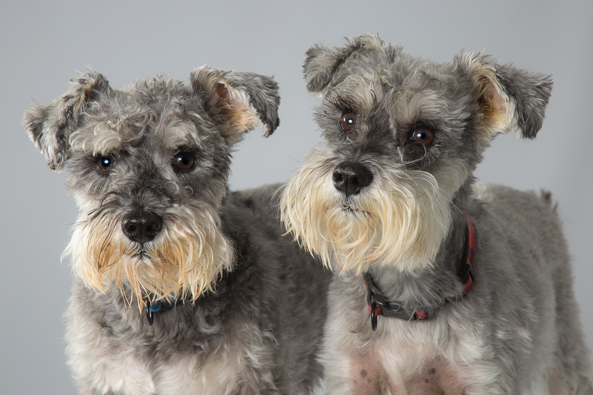 Ruby & Rosie Breed: Schnauzer Ruby and Rosie took a while to settle in the studio, but once they did we had a fantastic photo-session.