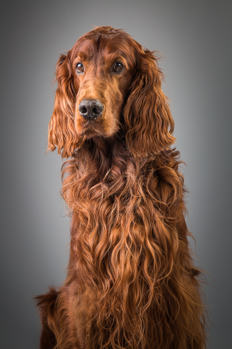 Coco Breed: Red Setter Perhaps not as young as he was, but still utterly magnificent. Coco was the perfect model!