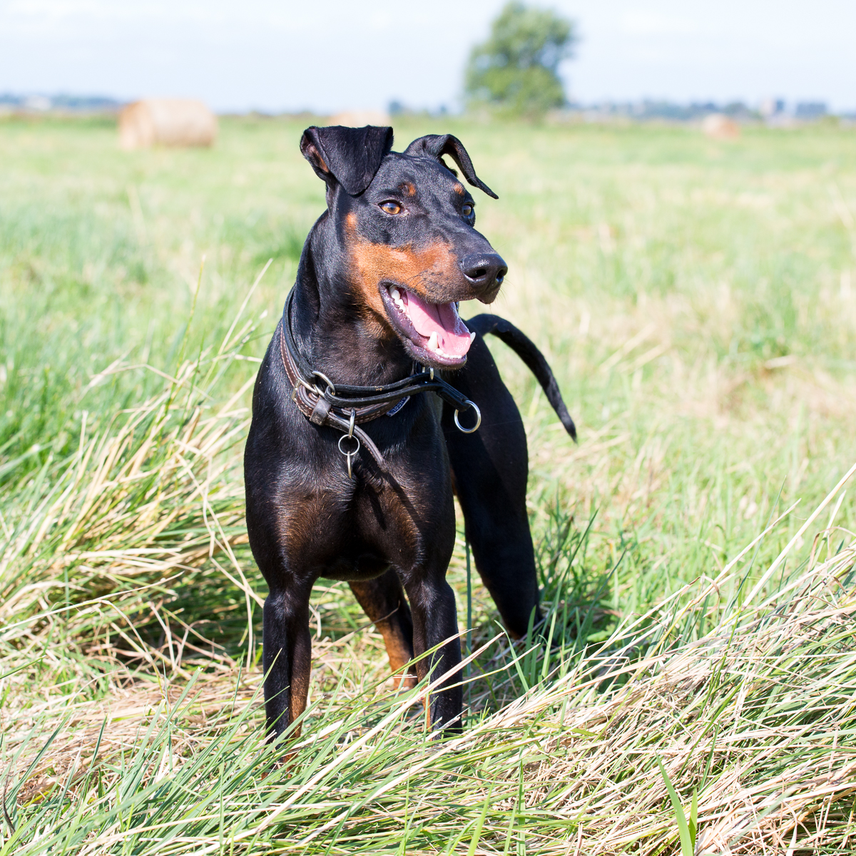 Vimto Breed: Manchester Terrier Vimto is full of youthful exuberance!